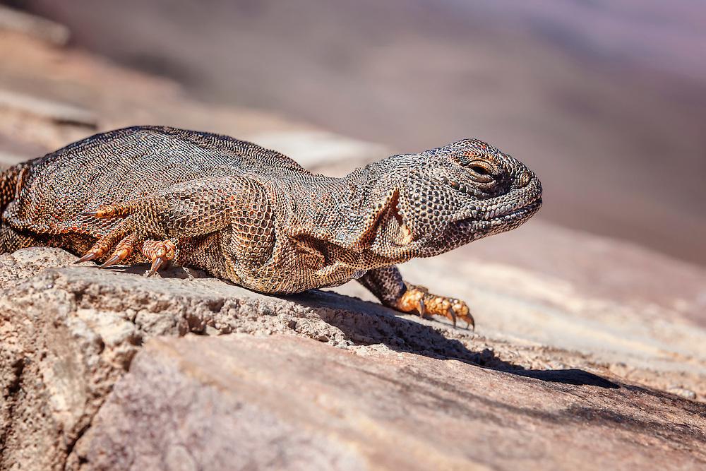 Orange lizard (lacertilia) in the Sahara desert, Morocco.