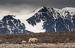 Polar bear (ursus maritimus) mother and cub in Smeerenburgfjorden, Spitsbergen, Svalbard, Norway