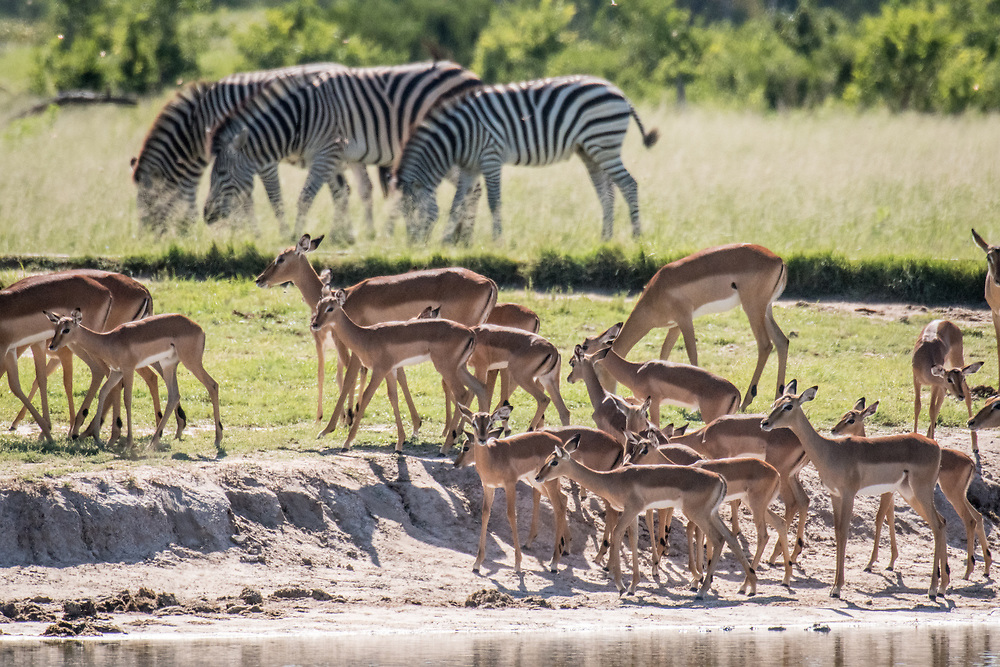 Groups of zebras and impala graze on the grasslands of the savanna in Hwange National Park. Hwange, Zimbabwe.