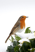 Typical winter scene robin perches on hedgerow holly by snowy hillside in The Cotswolds, UK