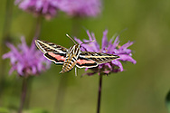 Sphinx moth hovers at wild horsemint flower in a mountain meadow. Proboscis is extended into a corolla to reach the nectar. © 2014 David A. Ponton