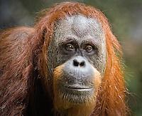 Portrait of an Orangutan. © 2009 Jak Wonderly.