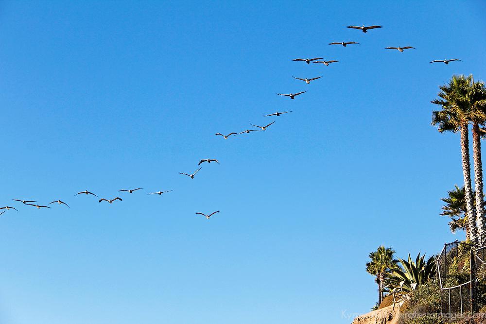USA, California, San Diego. Pelican formation.