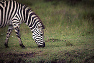 A zebra grazing in the Masai Mara National Reserve, Kenya, Africa