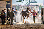 Shire Horse being lead into the arena
