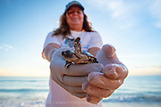 Volunteers with permits dig up Loggerhead and Green sea turtle nests in Singer Island, Florida, United States in an attempt to save hatchlings that were too weak to crawl out fo their nests days earlier.