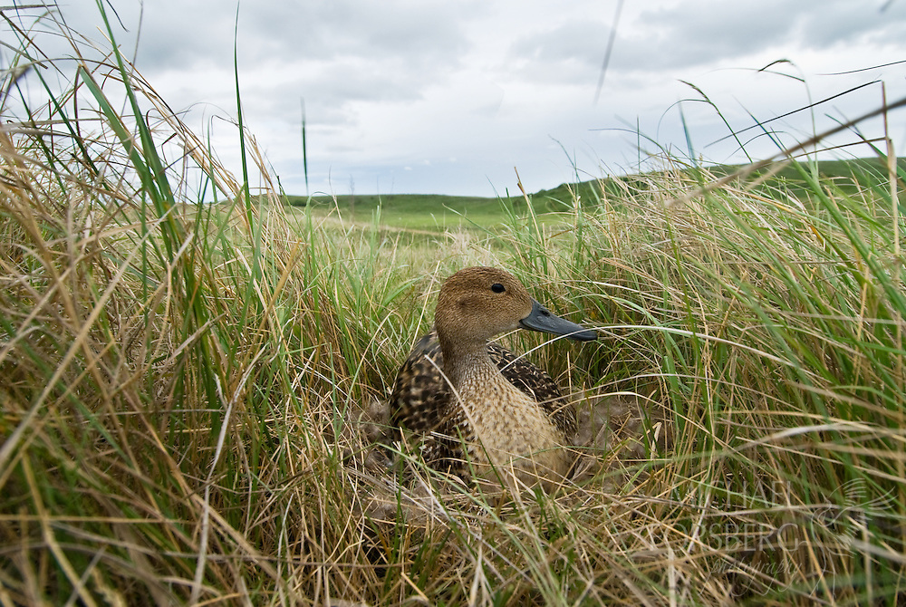 A pintail duck incubates her clutch in a nest several hundred yards from water.  North Dakota.