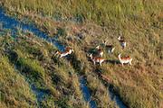 Aerial view of red lechwe (Kobus leche) in the Okavango Delta.
