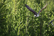 An osprey taking off in flight in Yellowstone National Park, USA.