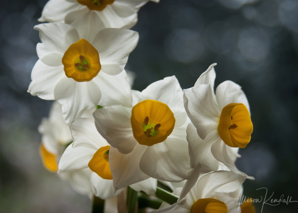 White petals and yellow-centered daffodil flowers in springtime bloom
