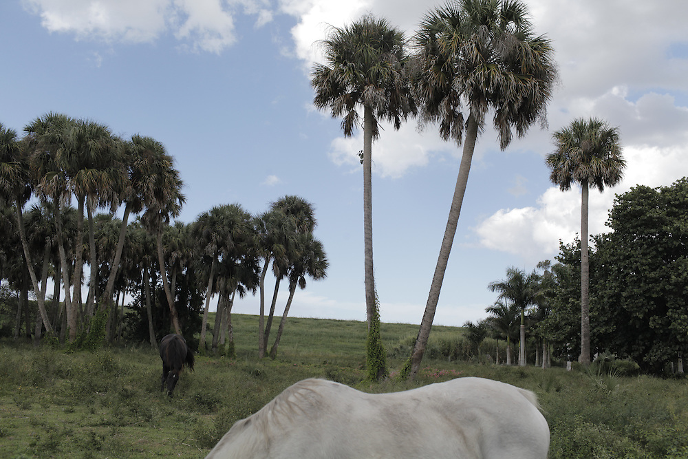Horse and Palms, Pahokee