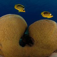Butterflyfish - Chaetodontidae