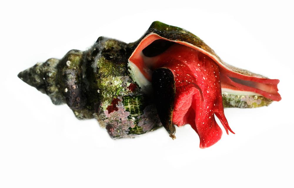 Purpurschnecke, Trunculariopsis trunculus   sea snail [Trunculariopsis trunculus]