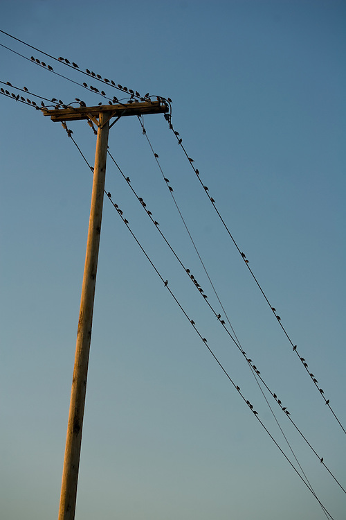 Birds on a wire strung from a telephone pole.