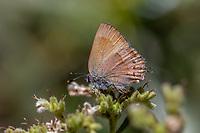 Callophrys n. nelsoni (Nelson's Hairstreak ) at Icehouse Canyon, San Bernardino Co, CA, USA, on 30-Jun-18