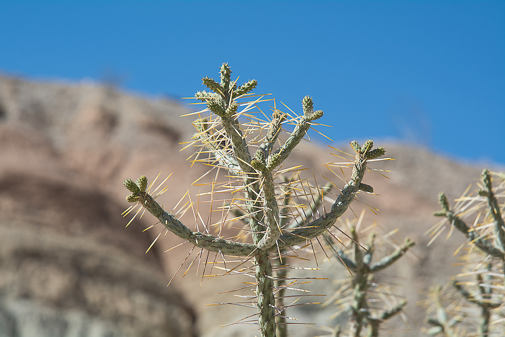 Also commonly called the diamond or branched pencil cholla, this hardy tree-like cactus is native to the Mojave and Sonoran Deserts of the Southwestern United States, California, and Northwestern Mexico, and to Baja California and its San Benito Islands. Uncommon in its range compared to other cholla species, the pencil cholla is usually found in well-drained sandy, gravelly, and rocky soils on flats, bajadas, and moderate slopes into the lower mountains in the Lower Sonoran (Creosote-Bursage Flats) and Upper Sonoran (Mojave Desert Scrub) habitats. Easily identified by the smooth surface of the stems with a distinct diamond-shaped pattern, each scale-like flat tubercle sprouts a viciously long, 2-inch golden-tipped silvery-white spine on the youngest and newest growth. This one was found growing along the side of a dried-out arroyo in a nameless canyon in Southern California's Anza-Borrego Desert in San Diego County.