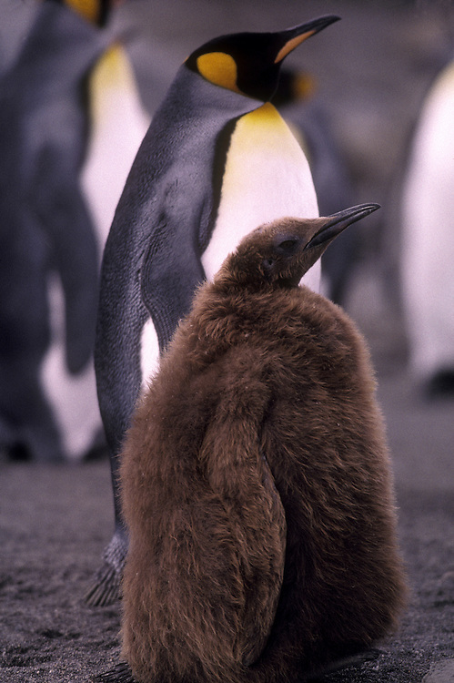 South Georgia Island, King penguin chick (Aptenodytes patagonicus) in massive rookery along Saint Andrews Bay