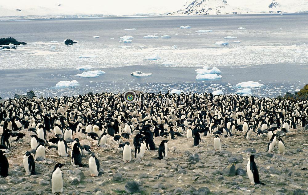 Antartica, dezembro 1991..Continente Antartico, pinguineira, proxima da Estacao Polonesa Arctowski .Situada nas proximidades da Ilha Rei George, em Turret Point, entre a Baia Rei George e a Baia Sherrat, na margem nordeste do Estreito de Bransfield..Foto © Adri Felden/Argosfoto