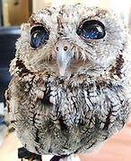 "Meet Zeus: The rescued Blind Owl With Stars in His Eyes<br /> <br /> Zeus came to his lifetime home at Wildlife Learning Center, in Los Angeles California, in the summer of 2012. He was found emaciated and blind in front of someone's house in Central California. A veterinary ophthalmologist thoroughly examined him, brought him back to health, and deemed him nonreleasable because he only has about 10% of his vision and would not be able survive in the wild on his own.<br /> <br /> Specifically he has been diagnosed with conjunctivitis, corneal degeneration, endotheliopathy, anterior uveitis (presumably from a traumatic event like flying into something or being attacked by a predator), his general condition is a capsular cataract, the white flecks that glisten in his eyes is caused by unique fibrin/blood pigment clots. These pigments cause a unique ""view of the Universe"" quality in his eyes, for which he is well known, hence the name Zeus. He isn't in pain and appears to be healthy in every other way. He has his regular check up this Thursday.<br /> <br /> Zeus exudes a very peaceful presence and is very calm. He has a very big personality and exhibits a bit of a curious nature. WLC Cofounders, Paul Hahn and David Riherd, say they have never seen anything like this unique manifestation of pigment clots giving ""starry"" appearing eyes in their 40+ combined years of working with rescued wildlife.<br /> <br /> Zeus enjoys perching either in his hollowed tree trunk or on top of it above Cofounder Paul's desk in the office at Wildlife Learning Center. He is so camouflaged most people don't notice him until we point him out. Many other people see him but believe he is a stuffed animal because he is so calm and peaceful. He sleeps a lot, as owls are crepuscular (mostly active at dawn and dusk). When he wakes and opens his eyes, people gasp. We have had people almost in tears when he reveals his peepers.<br /> <br /> People that meet him for the first time say it almost looks like celestial constellations in his eyes. I"