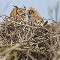 Great horned owl (Bubo virginianus) parent and owlet resting in treetop nest. A second owlet in nest is not visible. Fort DeSoto, Tierra Verde, FL.