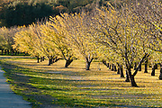 Almond orchard leaves turn yellow in late November near the Sutter Buttes, Yuba City, California, USA.