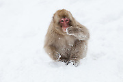 Snow monkey, juvenile in snow 3.