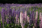 Purple Lupines, Maine