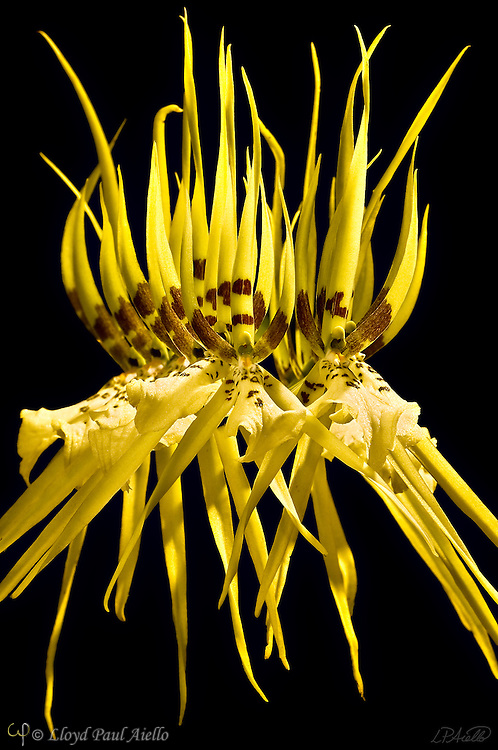 A brassia orchid grown and bloomed by the photographer.