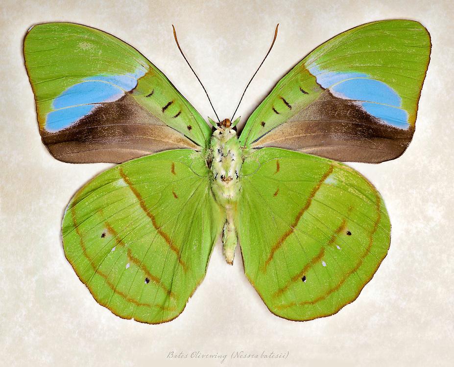 Bates Olivewing (Nessea batesii) underside / #LPD174b