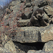 Wolverine kit at the entrance of a den during early spring in the Rocky Mountains of Montana. Captive Animal