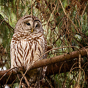 Barred owl, protected greenbelt. Seattle, Washington.
