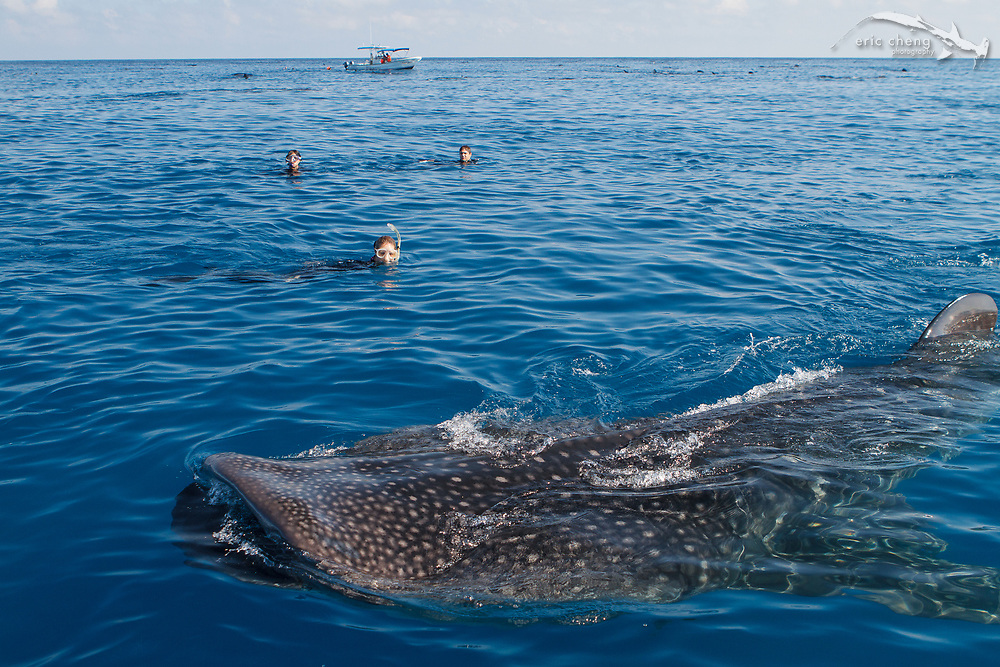 Snorkelers with whale sharks (Rhincodon typus) off of Isla Mujeres, Mexico.