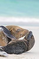 Galapagos Sea Lion, Zalophus wollebacki mother and pup on Gardner Bay beach on San Cristobal Island, Galapagos National Park, Ecuador.