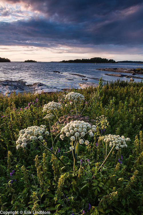 Hogweed growing in the nature reserve on the small island Nåttarö in Stockholm archipelago.