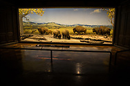 Plains bison diarama at the Natural History Museum of Los Angeles County