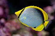 Black-backed Butterflyfish, Chaetodon melannotus.