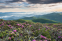 Wildly occurring Catawba Rhododendron color the lush, green mountainsides of the Roan Highlands during the month of June.  Located along the state borders of Western North Carolina and Eastern Tennessee, the Roan Highlands are accessible via the Appalachian National Scenic Trail and associated spur trails.
