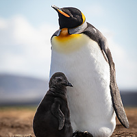 Aptenodytes patagonicus, Volunteer Point, East Falkland Island, February 2019.  There was a dispute over who were the parents of this chick.