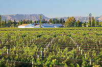 VINEDOS EN SAN RAFAEL, PROVINCIA DE MENDOZA, ARGENTINA (PHOTO © MARCO GUOLI - ALL RIGHTS RESERVED)