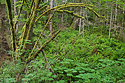 Western Sword Ferns and moss Covered Big Leaf Maple tree turnks fill this temperate forest with green on the Hood Canal drainage of the Kitsap Peninsula in Puget Sound, Washington state, USA