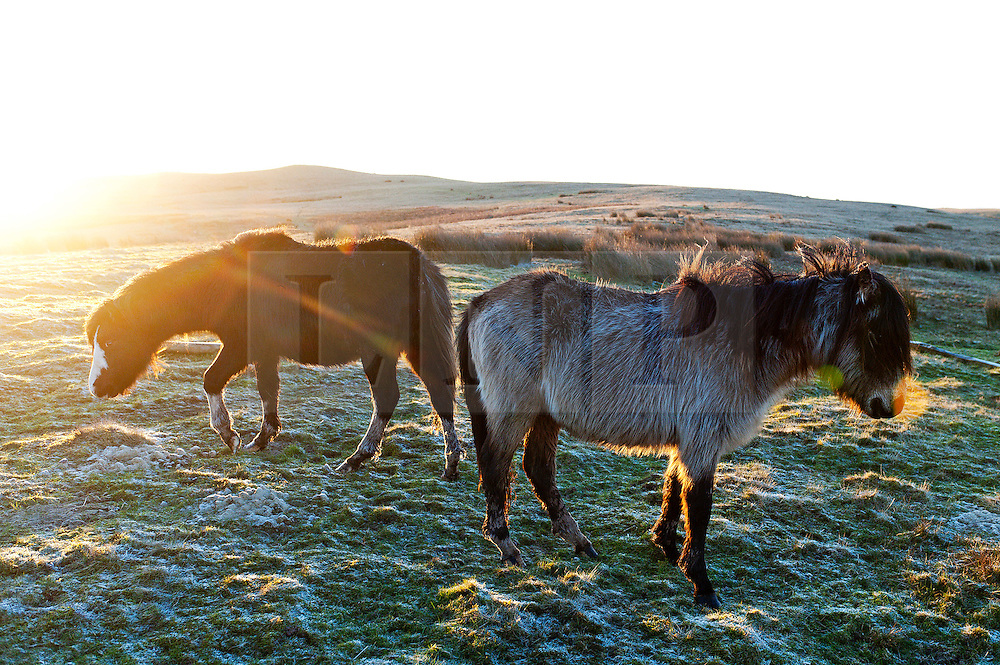 © Licensed to London News Pictures. 15/02/2016. Builth Wells, Powys, Wales, UK. Welsh ponies are seen in a frosty landscape at sunrise on the high moorland of the Mynydd Epynt range after a night with temperatures dropping below zero centigrade. Photo credit: Graham M. Lawrence/LNP