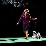 February 16, 2016 - New York, NY : The Shih Tzu enters the arena for Best of Show judging during the 140th Annual Westminster Kennel Club Dog Show at Madison Square Garden in Manhattan on Tuesday evening, February 16, 2016. CREDIT: Karsten Moran for The New York Times