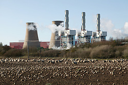 Sheep in field adjacent to Sellafield nuclear power station; Cumbria,
