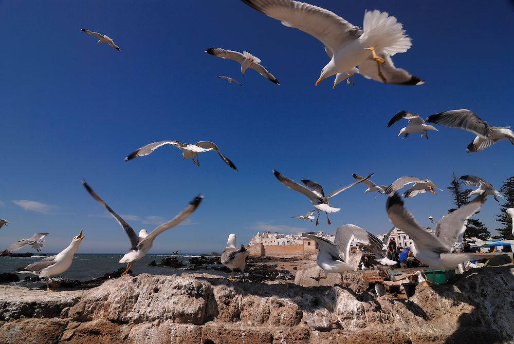 Some sea gulls are sitting at some rocks at the coast of Essaouira or they're flying around. Morocco. Africa.