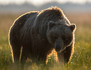 A brown bear munching on the sedge grass in the early morning light with a few friends (flying insects).  Sedge grass grows in areas that flood with tidal water.  It is high protein and the bears eat a lot of it to sustain them while they await the arrival of the salmon runs.
