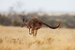 Red kangaroo  (Macropus rufus) hopping in golden desert grass in the rain,  Sturt Stony Desert,  Australia