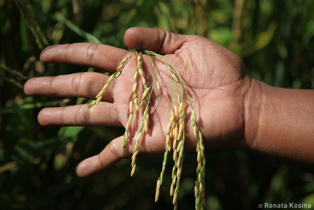 A man holds a rice plant in his palm to check the ripeness of his crop. Rice is an important part of Malaysian cuisine.