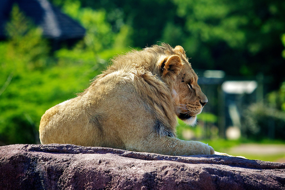 May 8, 2011; Norfolk, VA, USA; A lion at the Viginia Zoo. Mandatory Credit: Peter Casey