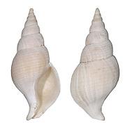 Colus gracilis