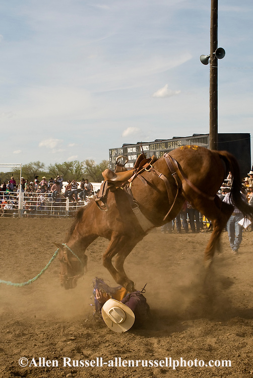 Rodeo, Saddle Bronc bucks cowboy off and steps on him, Miles City Bucking Horse Sale, Montana.